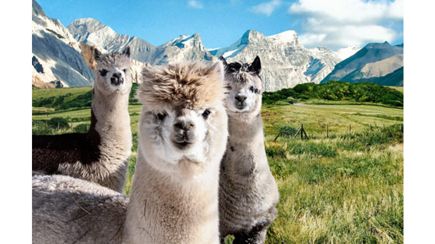 Alpaka Wanderung