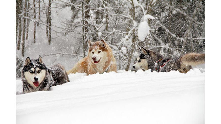 Husky-Workshop mit Übernachtung im Spreewald